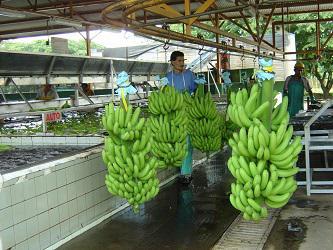 CostaRica_KaribischeTräume_Bananen