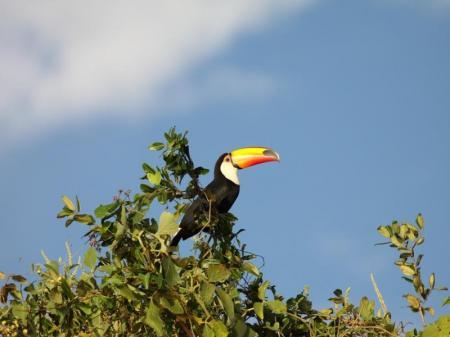 Ein Tukan im Baum im Süd-Pantanal