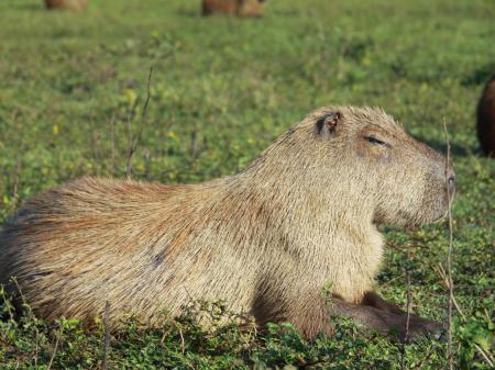 Ein Wasserschwein sonnt sich im Süd-Pantanal