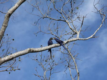 Zwei Hyazinth-Aras im Süd-Pantanal
