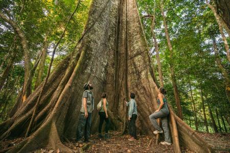 Riesiger Baum im Regenwald nahe der Uakari Lodge