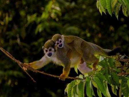 Affen in der Nähe der Uakari Lodge