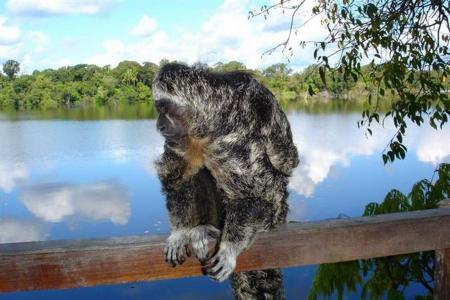 Juma Amazon Lodge Affe hockt auf einem Zaun