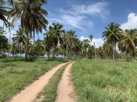 Feldweg gesäumt von Kokospalmen am Praia do Morro