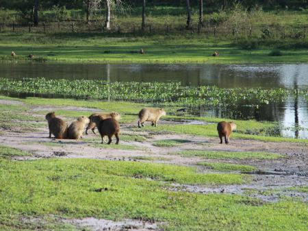Eine Gruppe von Wasserschweinen im Süd-Pantanal