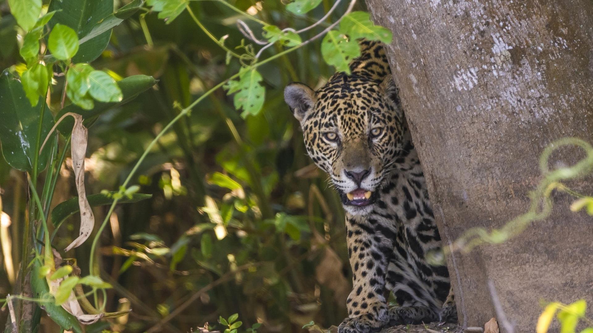 Brasilien Nord Pantanal: 6 Tage Reisebaustein -  Jaguar Safari mit Übernachtung im Flotel