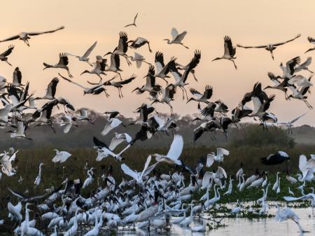 Wilde Reiher im Nord-Pantanal