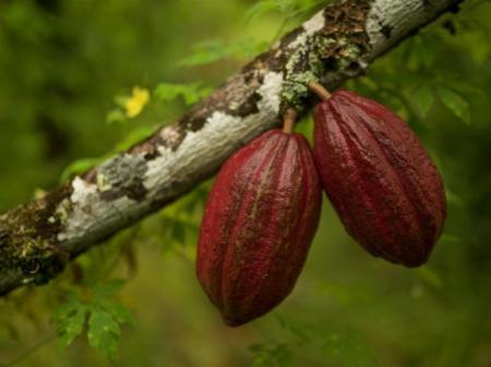 Kakaobohnen am Baum