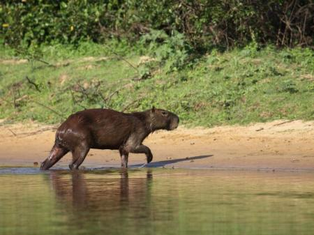 Ein Capivara im Süd-Pantanal