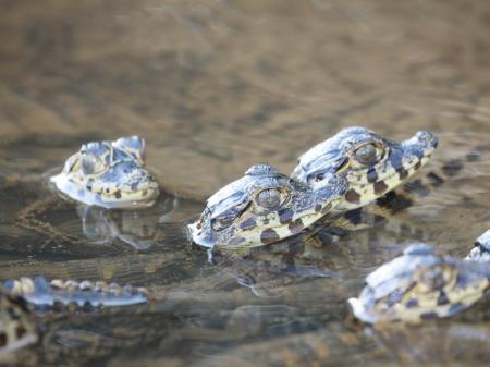 Kleine Kaimane im Süd-Pantanal