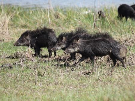 Wilde Schweine in der Umgebung des Pantanal Hotels Barra Mansa