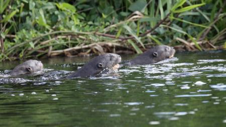 Junge Riesenotter beim Schwimmen im Süd-Pantanal