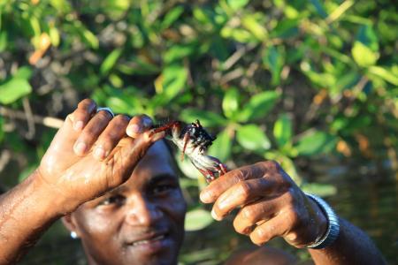 Einheimischer fängt Krebs in Mangroven in Bahia