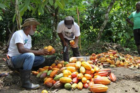 Bahia: Männer arbeiten mit Kakaofrüchten