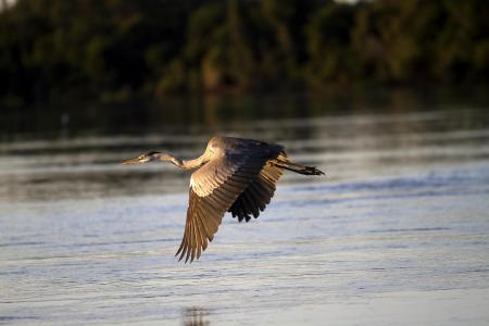 Reiher im Flug über Wasser