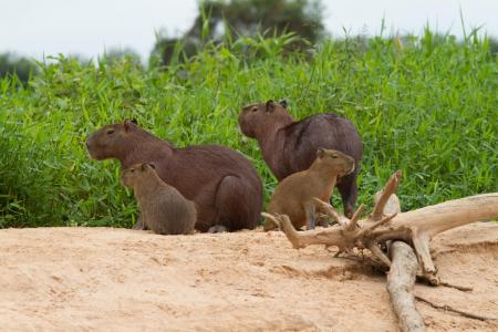 Vier Capivaras auf einem Erdhügel