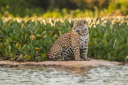 Auf Sandbank sitzender Jaguar