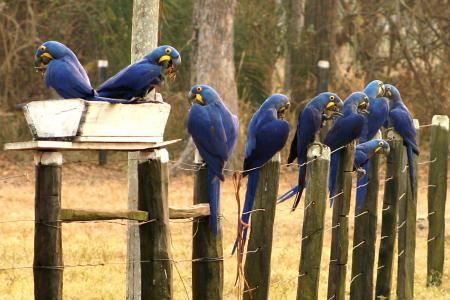 Caiman Lodge unterstützt Projeto Arara Azul_Credits_Cassiano_Zaparoli