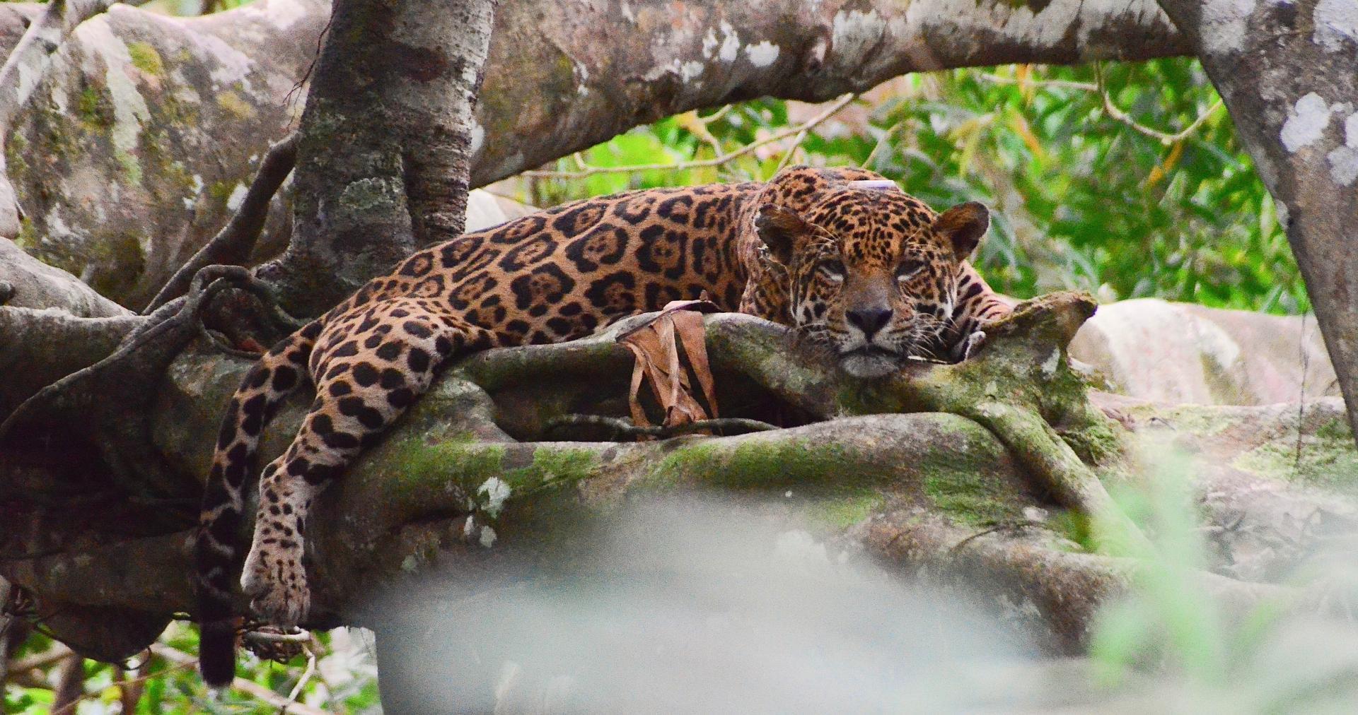 Brasilien Amazonas Tefe: Uakari Lodge – Jaguar Expedition 5 Tage Reisebaustein_ Foto_Credits_Emiliano_Ramalho