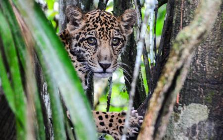 Junger Jaguar_Foto_Credits_Emiliano_Ramalho
