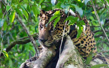 Jaguar im Baum_ Foto_Credits_Emiliano_Ramalho