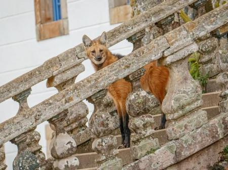 Auf der Treppe: Lobo Guara Santuario do Caraca – Foto: © Eduardo Franco Destinos