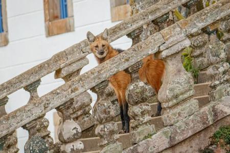 Ein Mähnenwolf in den Bergen Serra do Caraca auf der Goldroute in Brasilien