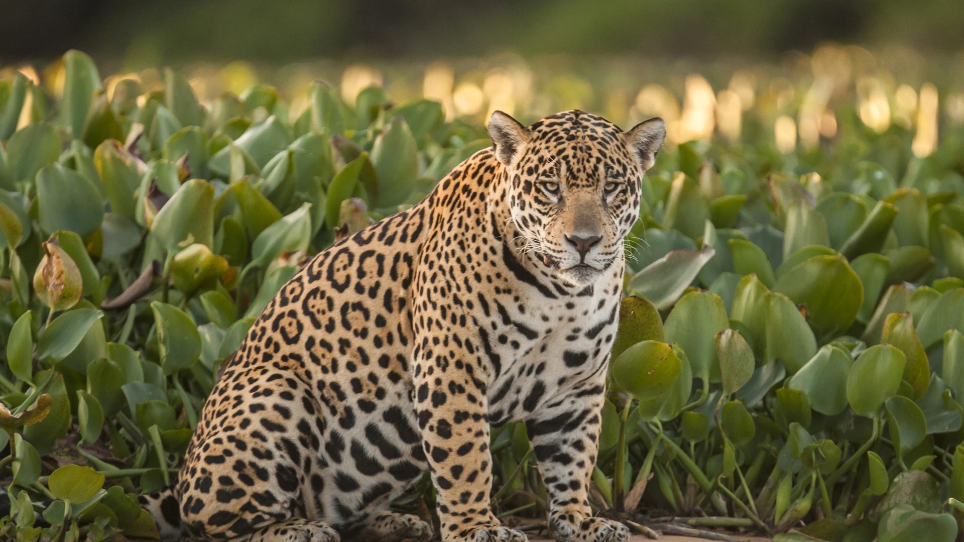 Ein Jaguar im Nord-Pantanal, Brasilien