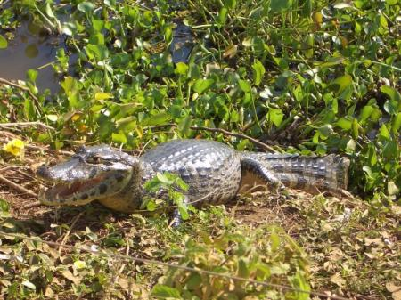 In Kaiman liegt in der Sonne am Rand eines Tümpels im Pantanal