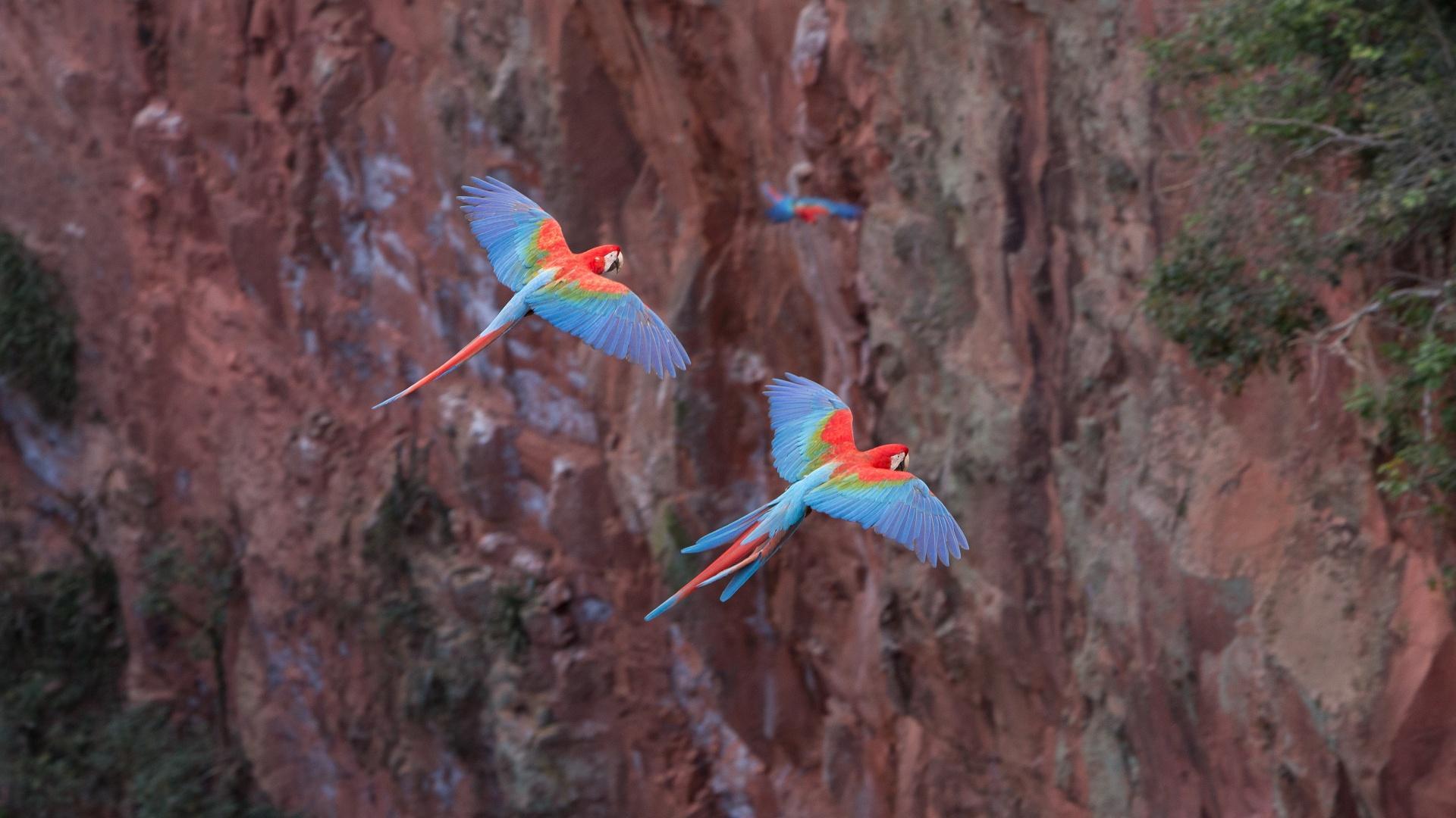 Rote Aras im Flug im Buraco das Araras bei Bonito