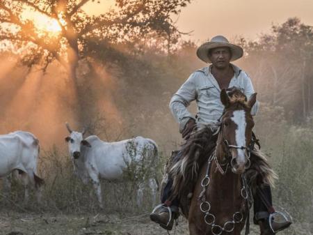 Ein brasilianischer Cowboy auf dem Pferd, im Hintergrund Rinder und die aufgehende Sonne des Pantanals